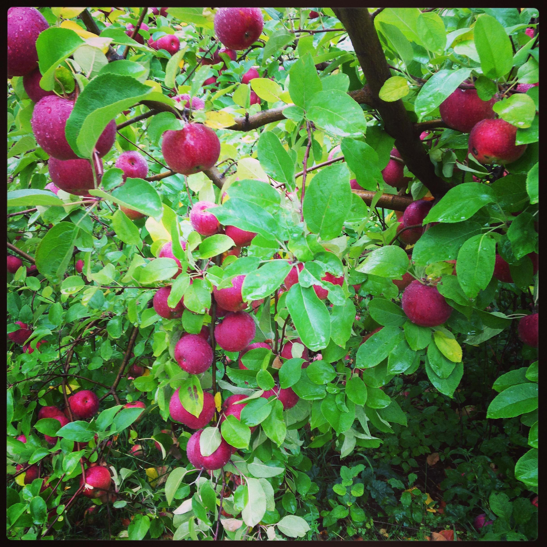Apple Picking Long Island November