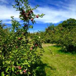 2015 09-26 Shelburne Farms Apple Orchard